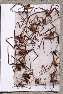 Brown Recluse Trap